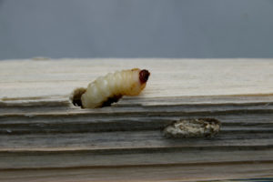 Kammerjäger Holzwürmer