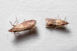 Schädlingsbekämpfer Motten