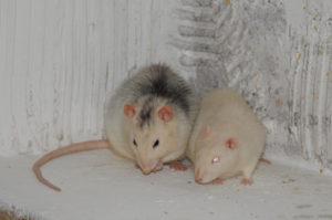 Schädlingsbekämpfer Ratten