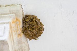 Schädlingsbekämpfer Wespen