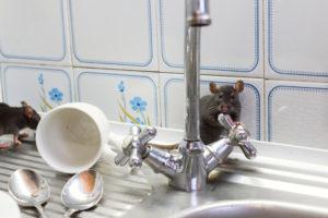 Schädlingsbekämpfung Mäuse